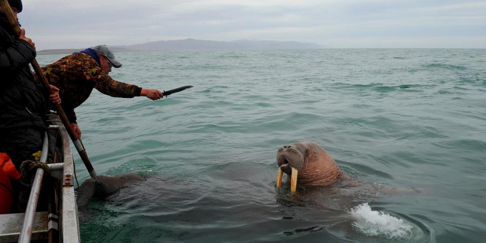 Работа: Охота на моржа в Чукотском море
