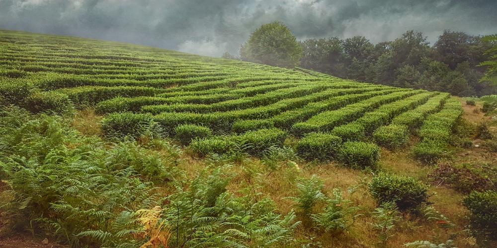 Работа: Чайные плантации