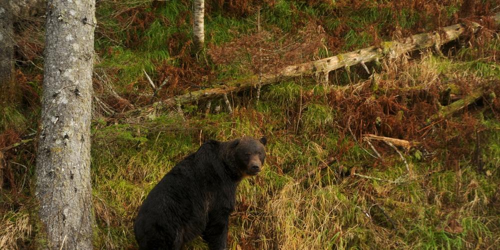 Работа: Курильский медведь