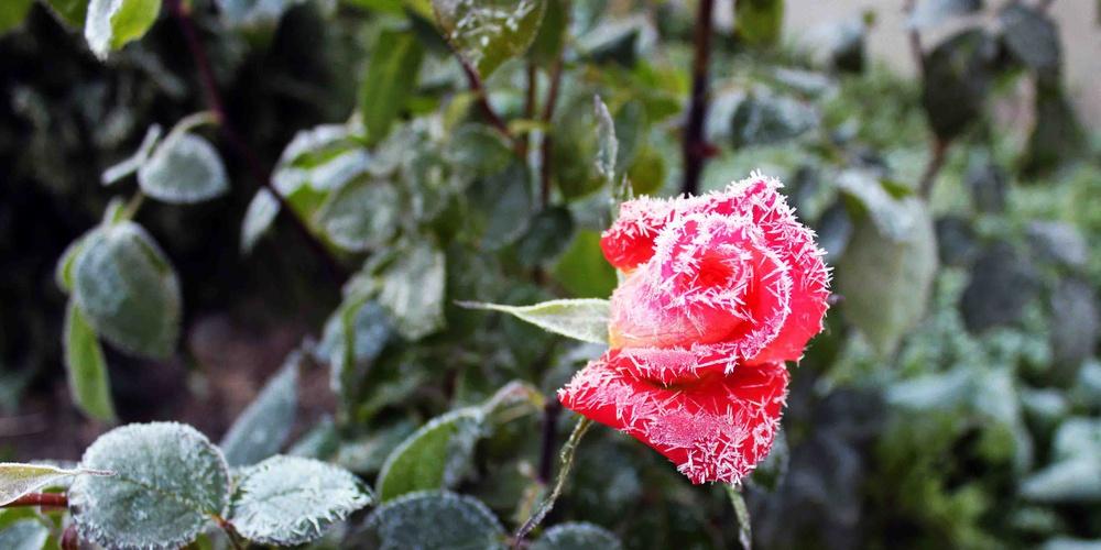 Работа: Осенняя роза
