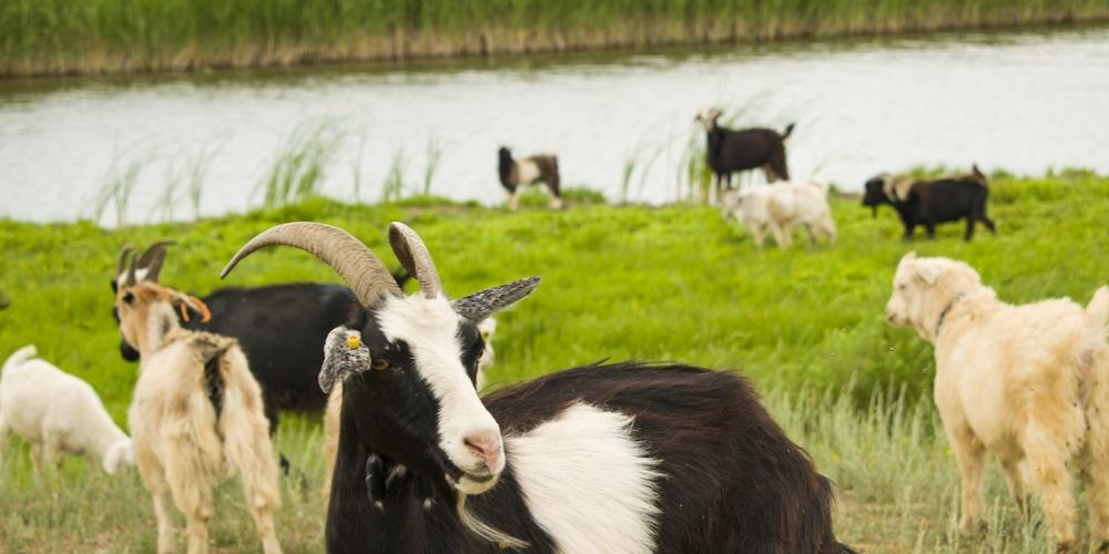 Работа: Стадо коз пасутся у реки