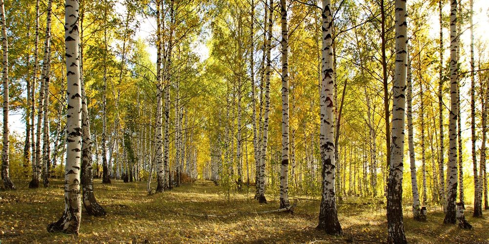 Работа: Золотой лес.