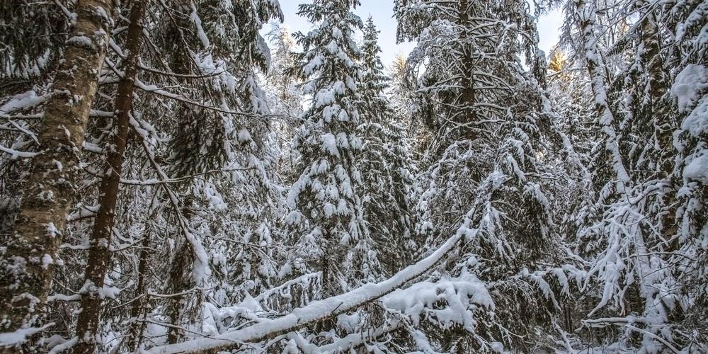Работа: Зимний лес